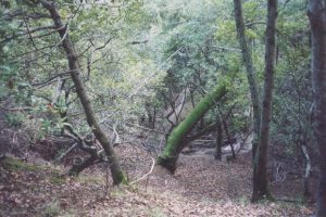Photo shows a mossy tree and ravine at China Camp State Park.